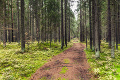 Leere Straße im Kieferwald, Karelien Stockbilder