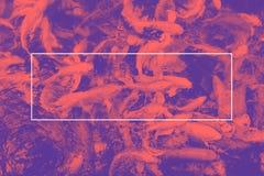 Leeren Sie weißen Rahmen auf rosa und purpurrotem Duoton von koi Fischen im pon Lizenzfreie Stockbilder