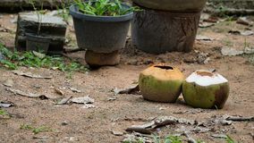 Leeren Sie zwei Kokosnüsse auf dem Sandboden lizenzfreie stockfotografie