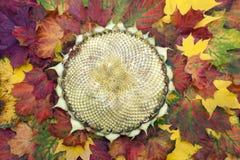Leerer Sonnenblumenkopf auf dem Herbstlaub Lizenzfreies Stockbild
