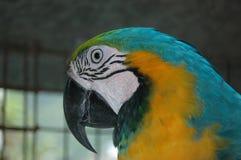 LeeRoy το Macaw Στοκ εικόνες με δικαίωμα ελεύθερης χρήσης