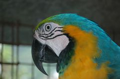 LeeRoy the Macaw Royalty Free Stock Images