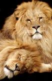Leões Imagens de Stock