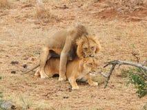 Leões de acoplamento Fotografia de Stock