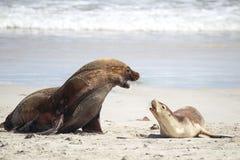 Leões de mar australianos (Neophoca cinerea) Fotografia de Stock