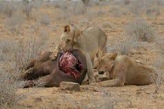 Leões na matança do búfalo Foto de Stock