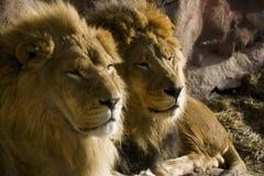 Leões pai e filho Imagens de Stock Royalty Free