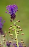 Leeswijzerhyacint, leopoldiacomosa, muscaricomosum Royalty-vrije Stock Fotografie