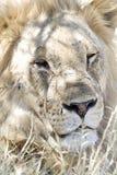 Leeuw, лев, пантера leo стоковое фото rf