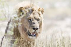 Leeuw, лев, пантера leo стоковая фотография rf