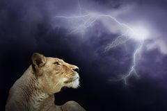 Leeuw Royalty-vrije Stock Afbeeldingen