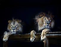 Leeuw Royalty-vrije Stock Foto's