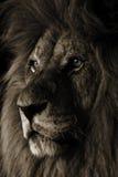 Leeuw stock fotografie