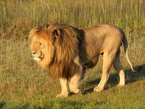 Leeuw. royalty-vrije stock foto