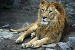 Leeuw stock foto