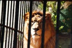 Leeuw achter de tralies in de dierentuin stock afbeelding
