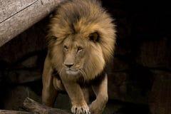 Leeuw in actie Stock Fotografie