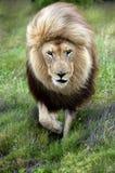 Leeuw in beweging Royalty-vrije Stock Foto