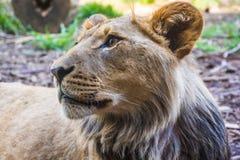 Leeuw bij de Bosparkdierentuin royalty-vrije stock foto