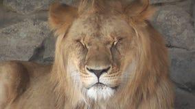 Leeuw bij de dierentuin stock video