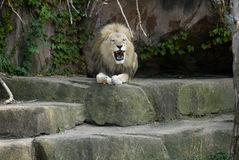 Leeuw bij dierentuin Stock Fotografie
