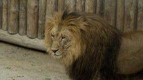 Leeuw bij dierentuin stock video