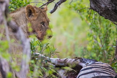 Leeuw bij doden in Zuid-Afrika Royalty-vrije Stock Foto