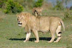 Leeuw bij Mara Rivier stock foto