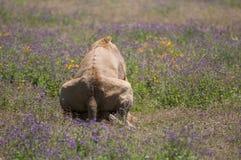 Leeuw bij Ngorongoro-krater, Tanzania, Afrika Stock Afbeelding