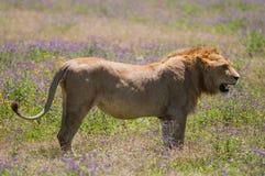 Leeuw bij Ngorongoro-krater, Tanzania, Afrika Royalty-vrije Stock Fotografie