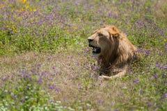 Leeuw bij Ngorongoro-krater, Tanzania, Afrika Stock Fotografie