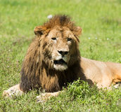 Leeuw bij Ngorongoro-krater, Tanzania, Afrika Royalty-vrije Stock Foto's