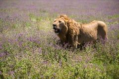 Leeuw bij Ngorongoro-krater, Tanzania, Afrika Stock Afbeeldingen
