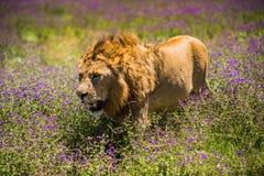 Leeuw bij Ngorongoro-krater, Tanzania, Afrika Stock Foto