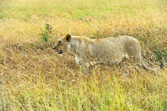 Leeuw de Afrikaanse savanne Stock Foto's