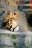 Leeuw in de Dierentuin Stock Afbeelding