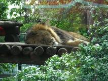 Leeuw in de DIERENTUIN die op de grond liggen stock fotografie
