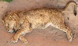 Leeuw in de Dierentuin van Lissabon Stock Afbeeldingen