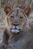 Leeuw in de gekleurde woestijn van Kalahari in Botswana, Royalty-vrije Stock Foto