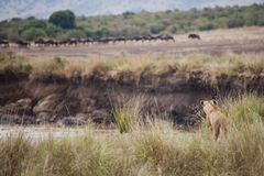 Leeuw de jacht in Masai Mara, Kenia royalty-vrije stock afbeelding