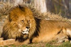 Leeuw de koning Stock Foto