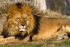 Leeuw de koning Stock Fotografie