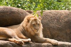 Leeuw de koning van de wildernisleeuw Royalty-vrije Stock Foto