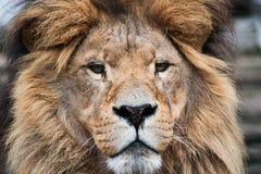 Leeuw de koning van het dier Stock Afbeelding