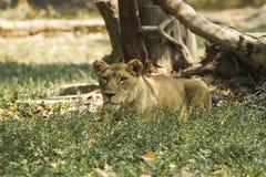 Leeuw in de Safari Stock Foto
