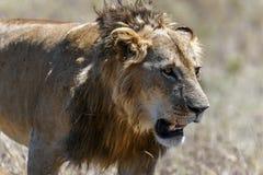 Leeuw in de savanne van Afrika royalty-vrije stock afbeeldingen