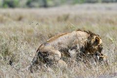 Leeuw in de savanne van Afrika stock foto