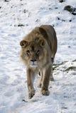 Leeuw in de Sneeuw Stock Afbeeldingen