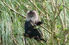 Leeuw-de steel verwijderd van macaque stock afbeelding