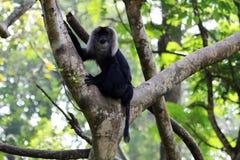 Leeuw-de steel verwijderd van macaque Stock Fotografie